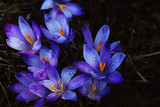 The first beautiful spring flowers are lilac crocuses on a dark background.