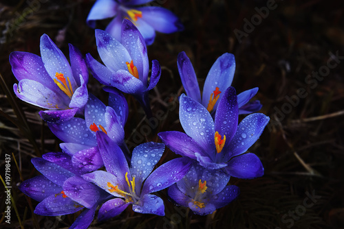 The first beautiful spring flowers are lilac crocuses on a dark background.  - 197198437