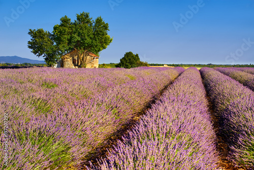 Lavender fields in Valensole with stone house and trees in Summer. Plateau de Valensole, Alpes de Haute Provence, France - 197207292