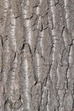 The bark of an old poplar.Texture.