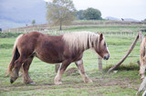 Great horses graze freely in the meadow on a very cloudy day