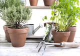 various herbs aromatic in pot on white wooden table with gardening tools - 197233098