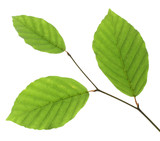 Beech leaves isolated on white background, Germany - 197234855