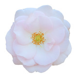 Wild Rose (Rosaceae) isolated on white background, including clipping path. - 197235674