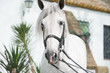 portrait of Andalusian horse in dressage bridle