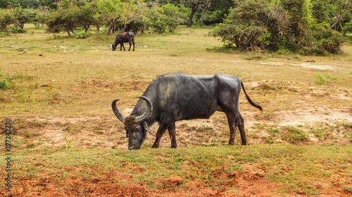 Dziki wodny bizon karmi na trawie (Bubalus arnee). Yala park narodowy, Sri Lanka