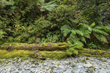 New Zealand temperate rainforest with tree ferns and decaying tree trunks