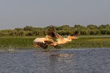 Pelicans taking off in Danube Delta the second largest river delta in Europe, after the Volga Delta, and is the best preserved on the continent.