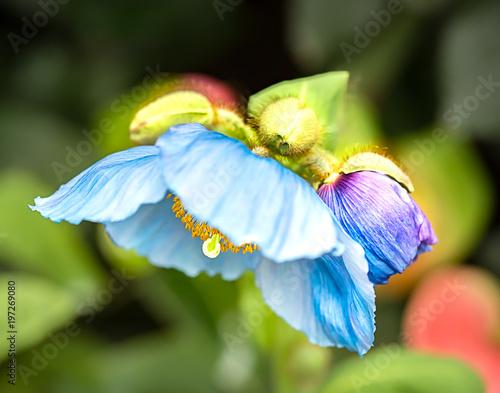 Shy blue poppy and bud - 197269080