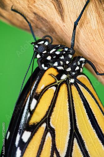 Makro Obraz Monarch Butterfly
