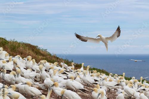 Northern gannets colony in Bonaventure Island, Quebec, Canada
