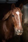 Beautiful bay horse in a stable stall
