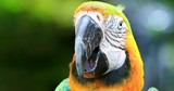 Cute parrot close up portrait of exotic tropical bird looking in camera 4K video. Macaw eyes and beak detailed view - 197323402