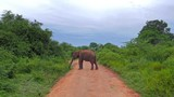 Big male asian elephant in middle of road blocks safari vehicle way and eventually slowly walks away in wild nature of Yala national park in Sri Lanka - 197323405