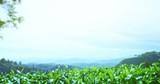 Camera moves through greenery of tea leaves tops fresh foliage shining under sun. Beautiful panoramic landscape of rural India - 197325054