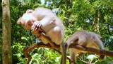 Monkeys play on tree top in tropical forest. Indonesian jungle wildlife nature - 197325207
