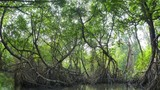 Twisted roots, long tree branches and green foliage in humid climate of Mangrove forest growing in saltwater lake natural reserve. Sun light sparkles and twinkles through dense canopy - 197325460
