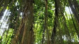 Green leaves of tropcial jungle canopy inside forest camera view. Wilderness and lush vegetation in asian rain forest - 197325469