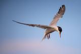 Common tern in flight (sterna hirundo)