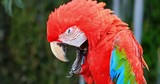 Ara Parrot bird with vivid colorful feathers plumage in tropical rainforest environment. Fresh water waterfall on background - 197339239