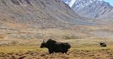 Massive black yak on grass valley among mountains of Himalaya range in tibet - 197339831