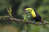 Keel-billed Toucan - Ramphastos sulfuratus, large colorful toucan from Costa Rica forest with very colored beak. - 197348849
