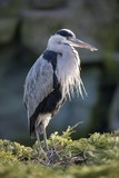 Grey Heron portrait - 197356481