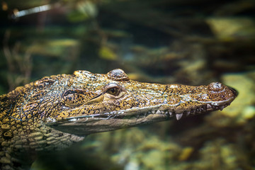 Small alligator swimming in water