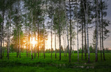 Park with birch trees and green grass at sunset