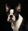Boston Terrier Dog on Isolated Black Background