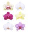 Orchid blossom heads isolated on white