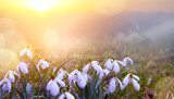 abstract nature spring Background; Snowdrop spring flower - 197406043