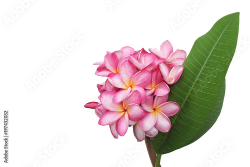 Aluminium Plumeria Plumeria flowers isolated on a white backdrop.
