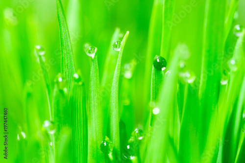 Microgreens Growing Panoramic Dew on Wheatgrass Blades - 197447460