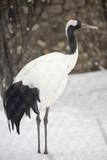 Японский журавль Red-crowned crane - 197447639