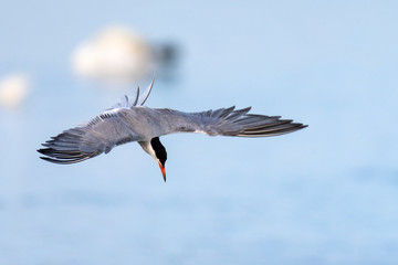Common tern in flight (sterna hirundo)