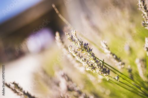 Fotobehang Lavendel Brins de lavande