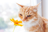 Cute ginger cat smelling a yellow flower. Cozy spring morning at home.