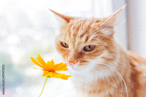 Cute ginger cat smelling a yellow flower. Cozy spring morning at home. - 197471070