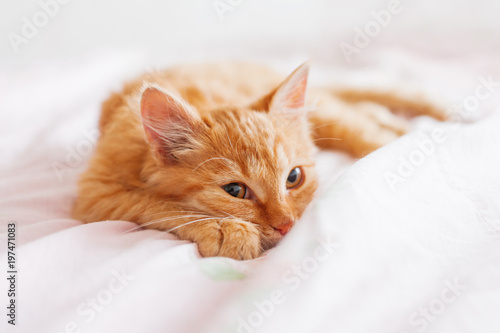 Cute ginger cat lying in bed. Fluffy pet is gazing curiously. Stray kitten sleep on bed first time in its life. Cozy home background, morning bedtime. - 197471083