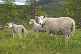 sheep in the mountains of Harstad at Lofoten in Norway - 197472608