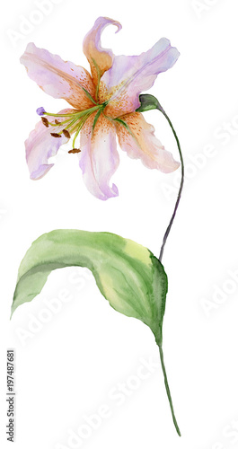 Beautiful lily flower on a stem with green leaves and buds.  Watercolor painting. Hand painted. Isolated on white background. Floral illustration. © katiko2016