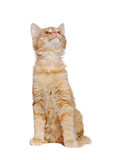 Front view picture of a red kitten sitting and looking up to the copy space area