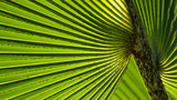 Lines and textures of green palm leaves - 197523479