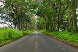 road through a tunnel of trees kauai,hawaii
