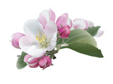 Apple blossoms.White and pink spring flowers. Hand drawn vector illustration on white background - realistic style.