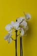 Biały storczyk na żółtym tle