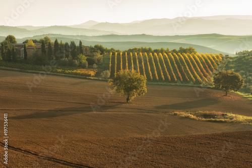 In de dag Olijf Sunny fields in Tuscany, Italy