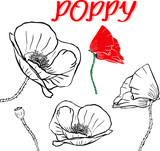 hand drawn contour of poppy flowers