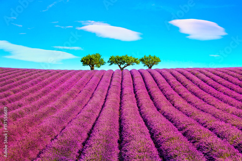 Foto op Aluminium Lavendel Lavender and trees uphill. Provence, France